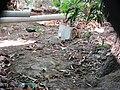 வெள்ளை நெஞ்சு நீர்க்கோழி 01.jpg