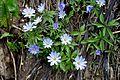კეწეწა Anemone blanda Grecian Windflower.JPG