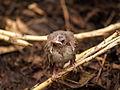 ヒヨドリ (鵯) (Brown-eared Bulbul) (Hypsipetes amaurotis)-雛 (7254265712).jpg