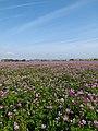 レンゲの花畑 - panoramio.jpg