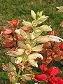 一串紅(紅絲線) Salvia splendens -香港北區公園 North District Park, Hong Kong- (9213292099).jpg