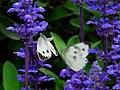 台湾纹白蝶 Pieris canidia - panoramio.jpg