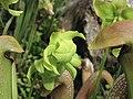 小瓶子草 Sarracenia minor -倫敦植物園 Kew Gardens, London- (9222651400).jpg
