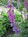 山岩黃芪 Hedysarum alpinum -哥本哈根大學植物園 Copenhagen University Botanical Garden- (37163211715).jpg