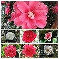 山茶花 Camellia japonica cultivars 3 -日本京都植物園 Kyoto Botanical Garden, Japan- (27725829618).jpg