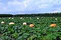 巨大的南瓜 - panoramio.jpg