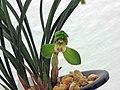 春蘭團圓荷 Cymbidium goeringii 'Happy-Ending Lotus' -香港花展 Hong Kong Flower Show- (12304545926).jpg