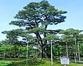 根上松 Root-exposed Pine - panoramio.jpg