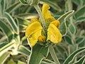 橙花糙蘇 Phlomis fruticosa -墨爾本植物園 Royal Botanic Gardens, Melbourne- (9213326537).jpg