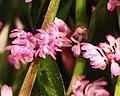毛舌蘭屬 Trichoglottis latisepala -台南國際蘭展 Taiwan International Orchid Show- (40150279264).jpg