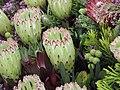 海神花 Protea Limelight -香港花展 Hong Kong Flower Show- (9222671492).jpg