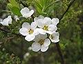 笑靨花(李葉繡線菊)-單瓣 Spiraea prunifolia v simplicifolia -南京玄武湖公園 Nanjing, China- (33127721390).jpg