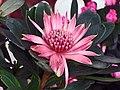 紅火球帝王花 Telopea speciosissima hybrid -香港花展 Hong Kong Flower Show- (9193423658).jpg