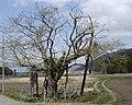 舘の大マユミ - panoramio.jpg