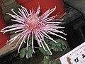 菊花-竹衣 Chrysanthemum morifolium -中山小欖菊花會 Xiaolan Chrysanthemum Show, China- (12026620183).jpg