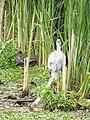 -2020-06-10 Grey Heron (Ardea cinerea), Paston, Norfolk (3).JPG