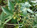 01776 - Ricinus communis (Wunderbaum).JPG