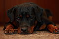 01Rottweiler puppy.jpg