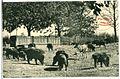 06400-Moritzburg-1905-Fütterung der Wildschweine-Brück & Sohn Kunstverlag.jpg
