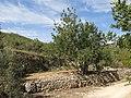 130 Garrofer i marges de pedra seca al Trull (Vespella de Gaià).jpg