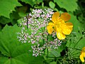 1470 - Nationalpark Hohe Tauern - Bugs on flowers.JPG