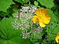 1470 - Nationalpark Hohe Tauern - Bugs on flowers.JPG