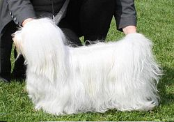 Havanese Show Dog Pictures