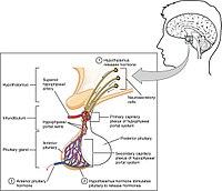 Anterior pituitary - Wikipedia