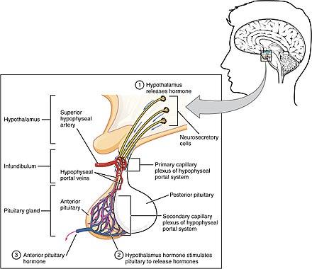 les hormones hypophysaire