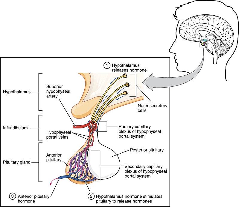anterior pituitary - wikiwand, Cephalic Vein