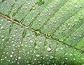 2008 05 17 - Euphorbia pulcherrima 05b.JPG