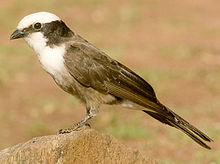 2009-white-crowned-shrike.jpg
