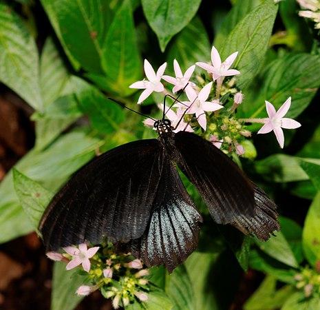 2011-08-08 14-51-12-papillon-hunawihr.jpg