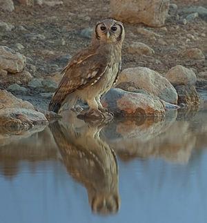 Verreaux's eagle-owl - From Etosha National Park