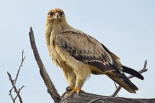 Tawny eagle Species of bird