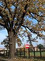 20121112 wschowa ul garbarska b quercus robur-alx.jpg
