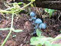 2013-12-01 Clitocybula azurea Singer 390125.jpg