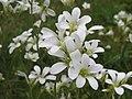 20140503Saxifraga granulata1.jpg