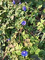 2015-08-29 07 46 37 Morning Glory flowering along Tranquility Court in the Franklin Farm section of Oak Hill, Fairfax County, Virginia.jpg