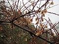 20150101Reynoutria japonica1.jpg