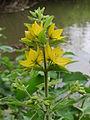 20150609Lysimachia vulgaris2.jpg