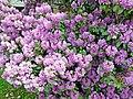 20150610315DR Wegefarth (Oberschöna) Rhododendron.jpg