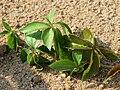 20150821Parthenocissus quinquefolia2.jpg