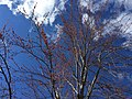 2016-03-02 13 44 06 Male Red Maple in bloom along Lees Corner Road (Virginia State Secondary Route 645) in Chantilly, Virginia.jpg