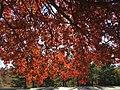 2016-11-18 11 39 10 Pin Oak autumn foliage in Franklin Farm Park in the Franklin Farm section of Oak Hill, Fairfax County, Virginia.jpg