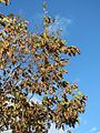 20161019Carpinus betulus1.jpg