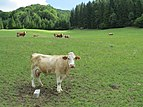 2017-07-28 (144) Cow east from farmhouse Bichl at Haltgraben in Frankenfels.jpg