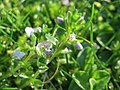 20171018Veronica serpyllifolia4.jpg