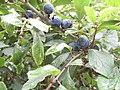 2018-09-12 Sloe berries (Prunus spinosa), Trimingham, Norfolk (2).JPG