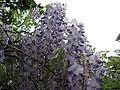20180423Wisteria floribunda1.jpg